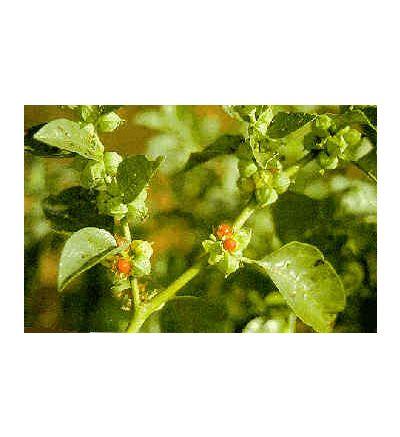 Ashwaganda Root, tincture - 4oz (118.3ml)