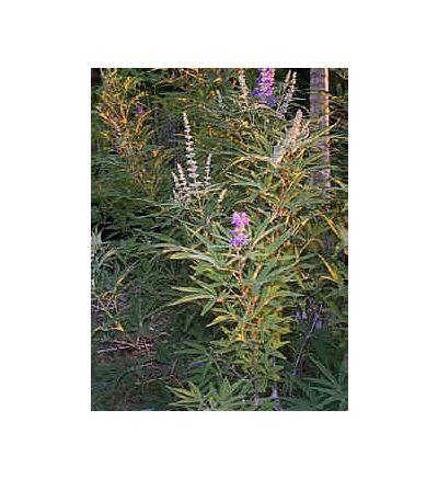 Chaste Tree Berry, tincture - 4oz (118.3ml)
