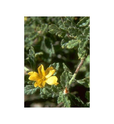 Damiana Herb, tincture - 2oz (59.15ml)