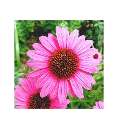 Echinacea, tincture - 2oz (59.15ml)