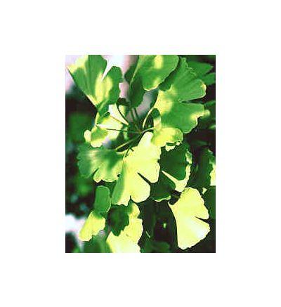 Ginkgo Leaf, tincture - 4 oz. (118.3 ml.)