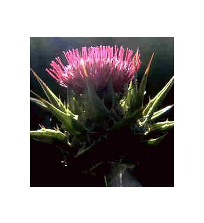 Milk Thistle, tincture - 2oz (59.15ml)