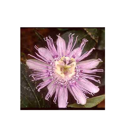Passion Flower, tincture - 4oz (118.3ml)
