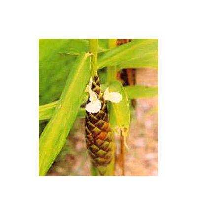 Turmeric Root, tincture - 2oz (59.15ml)