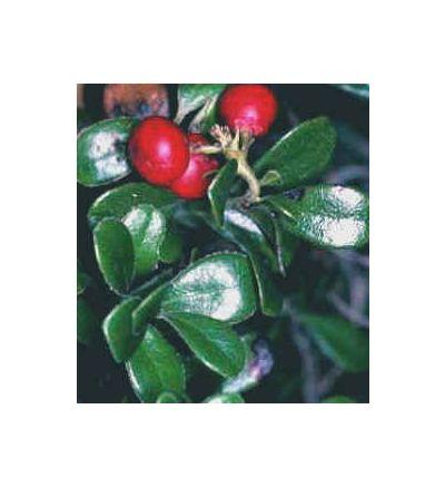 Uva Ursi Leaf, tincture - 4oz (118.3ml)