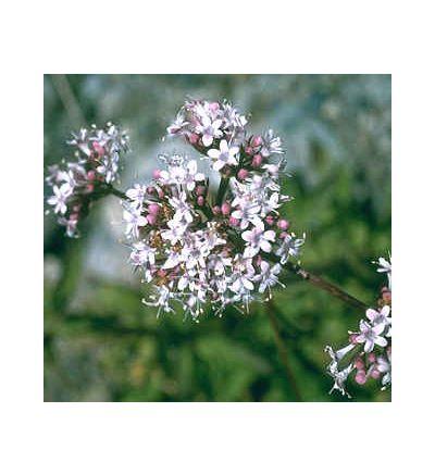Valerian Root, tincture - 2oz (59.15ml)
