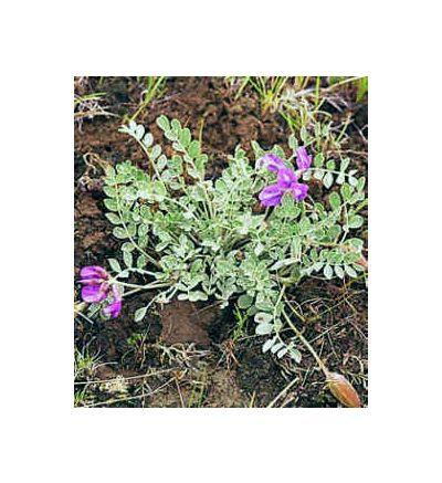 Astragalus Root, tincture - 4oz (118.3ml)