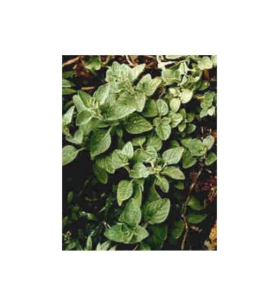 Oregano - 30ml