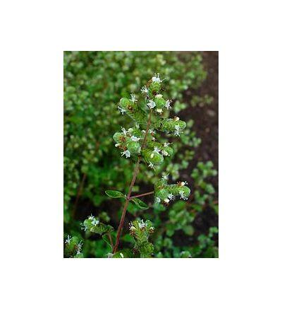 Majoram, Wild (Origanum majorana) - 30ml