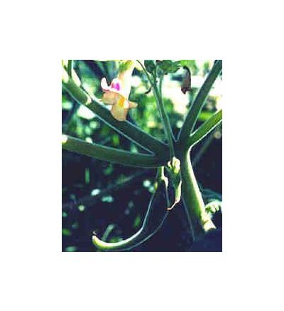 Devil's Claw Tuber, tincture - 4oz (118.3ml)