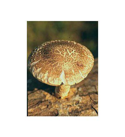 Shiitake Mushroom, tincture - 2oz (59.15ml)