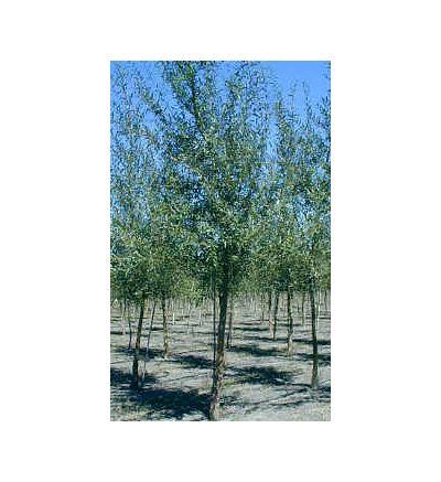 White Willow Bark, tincture - 4oz (118.3ml)