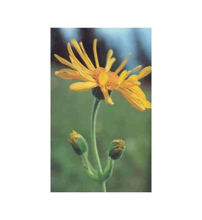 Arnica Flower, tincture - 4oz (118.3ml)