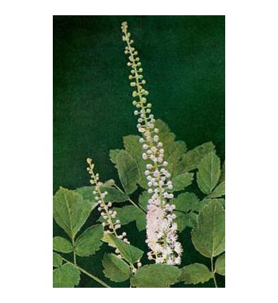 Black Cohosh Root, tincture - 4oz (118.3ml)