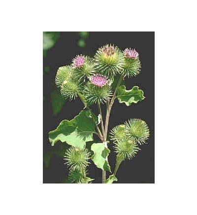 Burdock Root, tincture - 4oz (118.3ml)