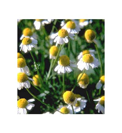 Chamomile Flower, tincture - 4 oz. (118.3 ml.)