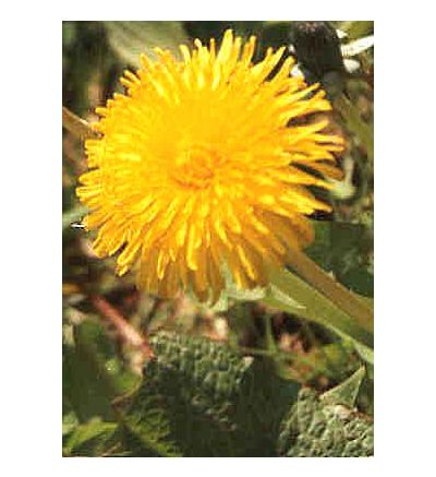 Dandelion Root, tincture - 4oz (118.3ml)