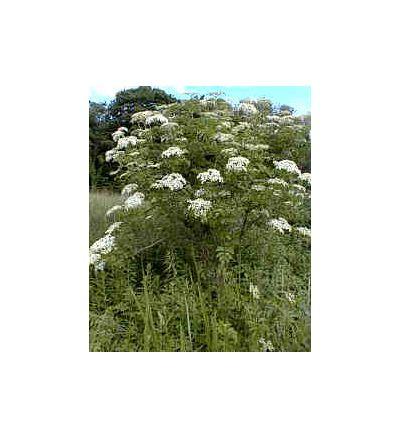 Elderberry, tincture - 4oz (118.3ml)