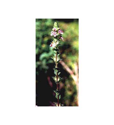 Eyebright Leaf, tincture - 4oz (118.3ml)
