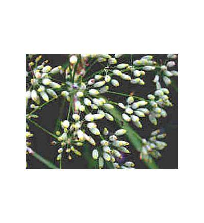 Fennel Seed, tincture - 4oz (118.3ml)