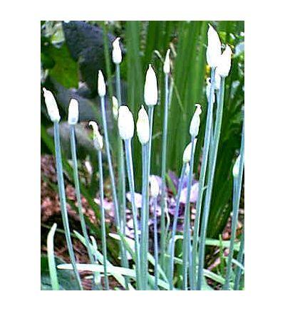 Garlic Bulb, tincture - 4 oz. (118.3 ml.)