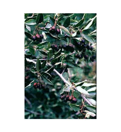 Hawthorne Berry, tincture - 2oz (59.15ml)
