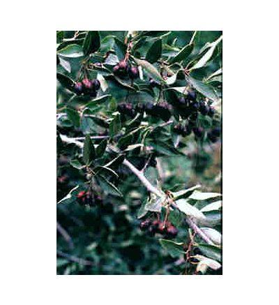 Hawthorne Berry, tincture - 4oz (118.3ml)