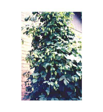 Hops Strobiles, tincture - 4oz (118.3ml)