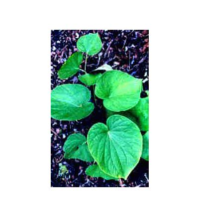 Kava Root, tincture - 4 oz. (118.3 ml.)