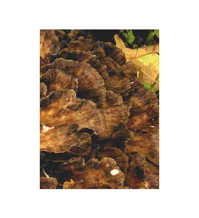 Maitake Mushroom, tincture - 4oz (118.3ml)