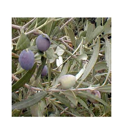 Olive Leaf, tincture - 4oz (118.3ml)