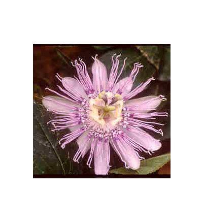Passion Flower, tincture - 4oz (118.3ml)
