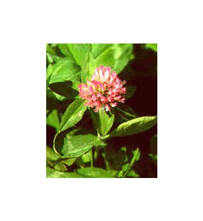 Red Clover Blossoms, tincture - 4oz (118.3ml)
