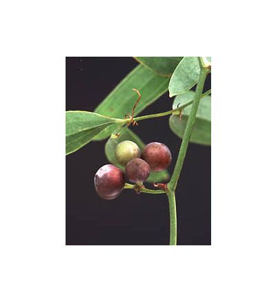Sarsaparilla, tincture - 4oz (118.3ml)