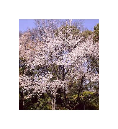Wild Cherry Bark, tincture - 2oz (59.15ml)