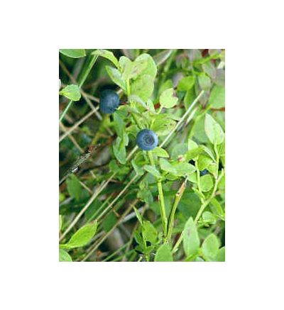 Bilberry, tincture - 4oz (118.3ml)