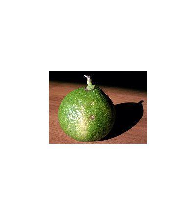 Bergamot (Citrus bergamia) - 30ml