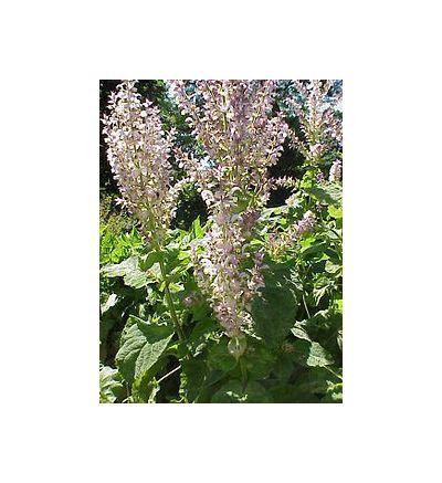 Clary Sage (Salvia sclarea) - 30ml