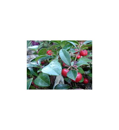 Wintergreen (Gaultheria Procumbens) - 30ml