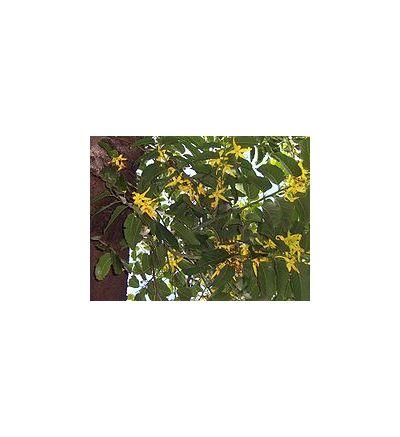 Ylang Ylang (Cananga odorata) - 30ml