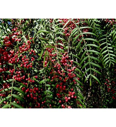 Brazilian Peppertree - 120 Capsules x 500mg