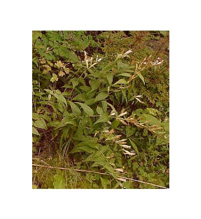 Gentian Root, tincture - 2oz (59.15ml)