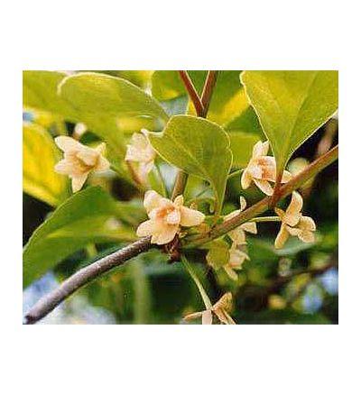 Schizandra Berry, tincture - 4oz (118.3ml)