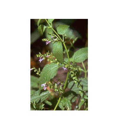 Scullcap, tincture - 4oz (118.3ml)