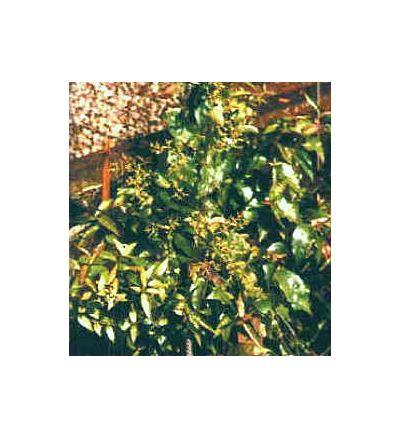 Suma Root, tincture - 2oz (59.15ml)